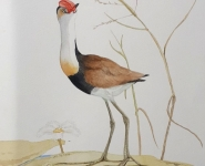 Comb-crested Jacana
