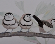 Double-barred Finches.jpg