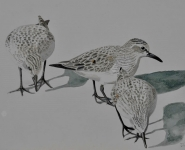 Red-necked Stints.jpg