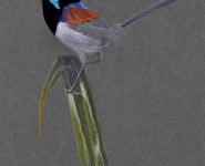 Variegated Fairy-wren.jpg