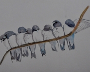 White-breasted Woodswallows.jpg