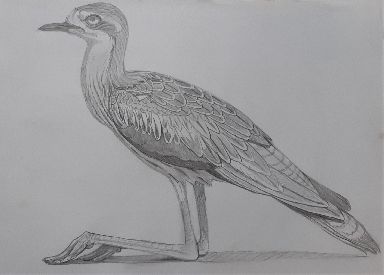 Bush-Stone-curlew