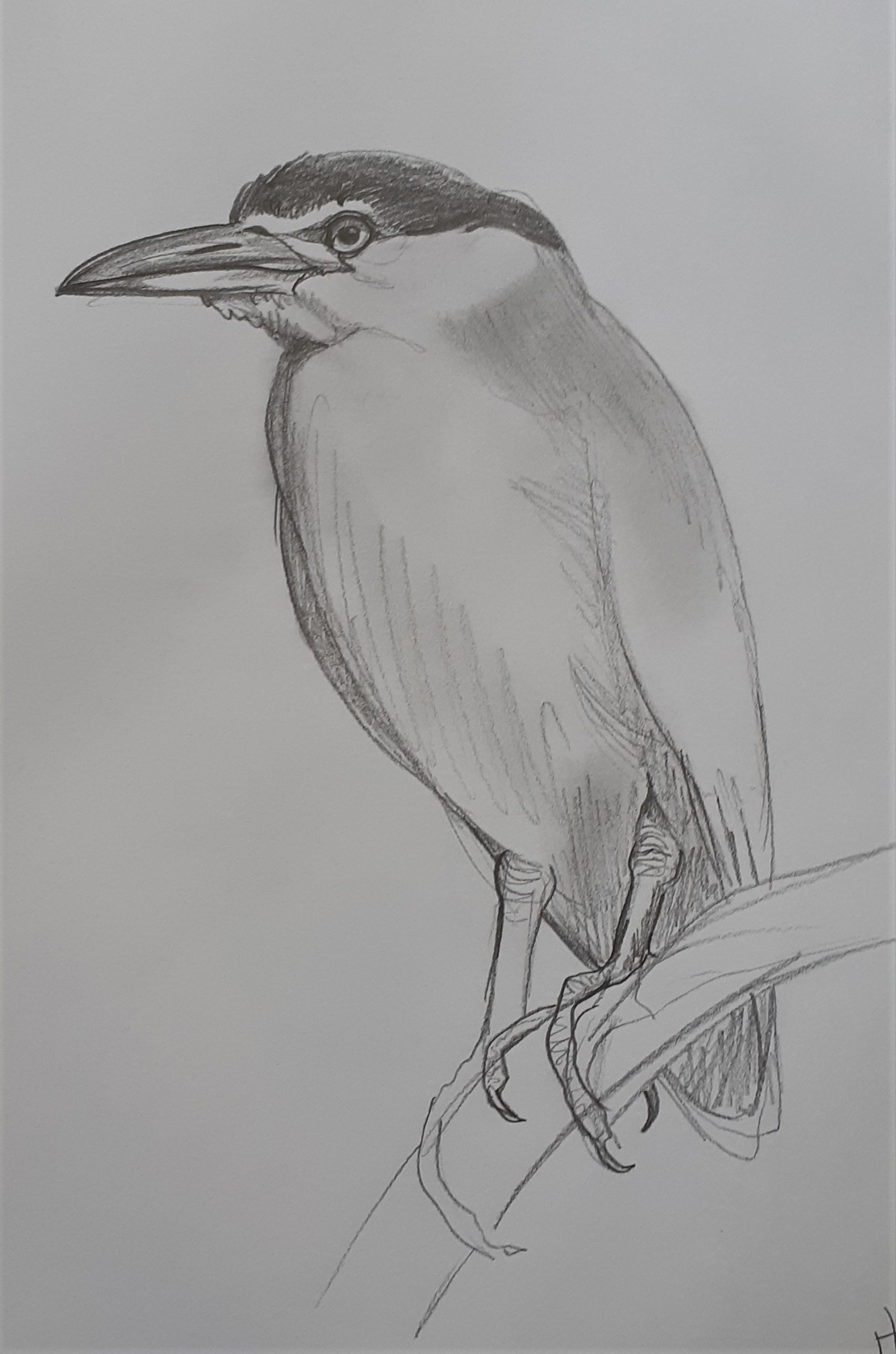 Nankeen-Night-Heron