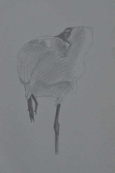 Royal spoonbill - John Grant
