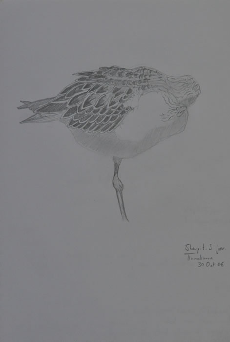 Sharp tailed sandpiper