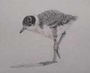 Masked Lapwing chick