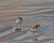Red-capped-Plovers