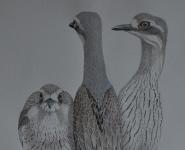 Bush Stone-curlews