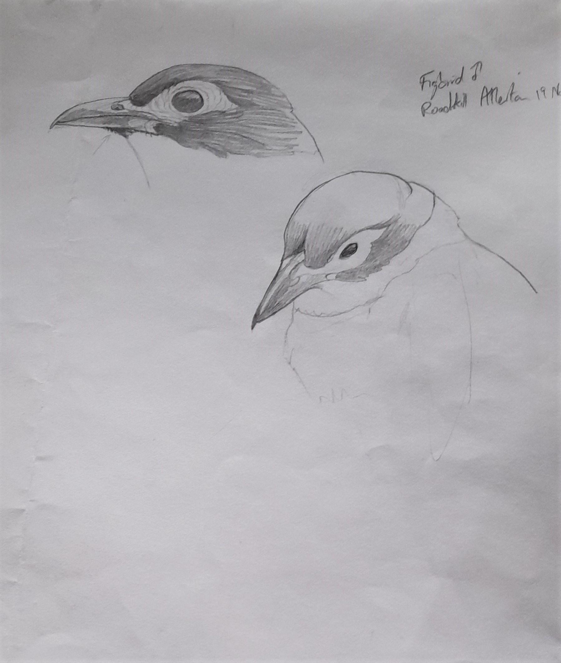 1_Figbird-head-study