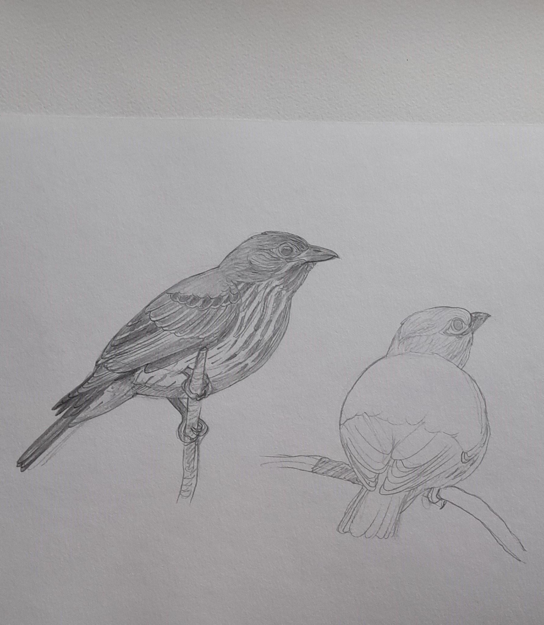 1_Figbirds