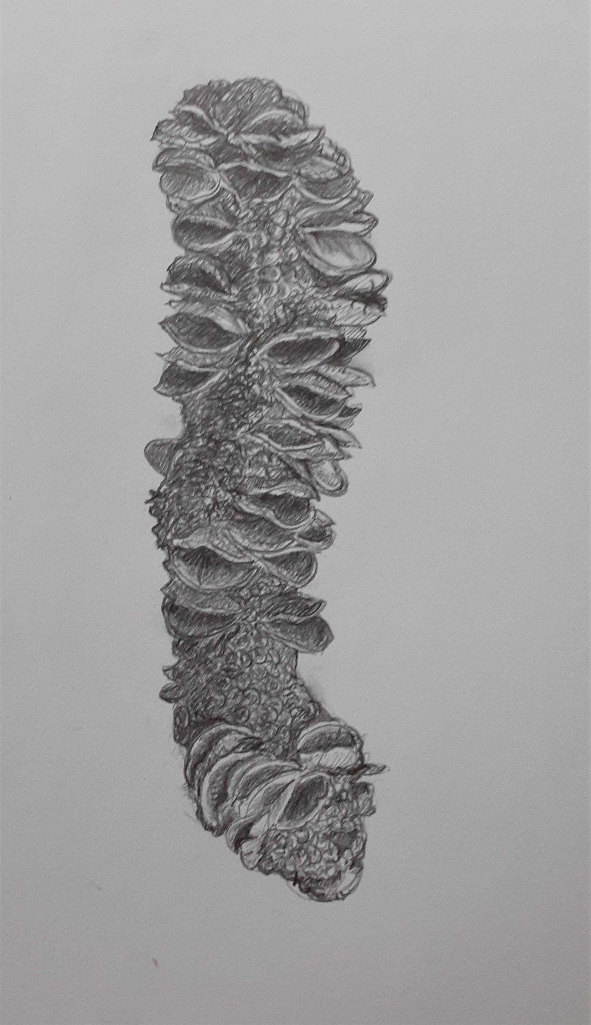 Banksia-cone