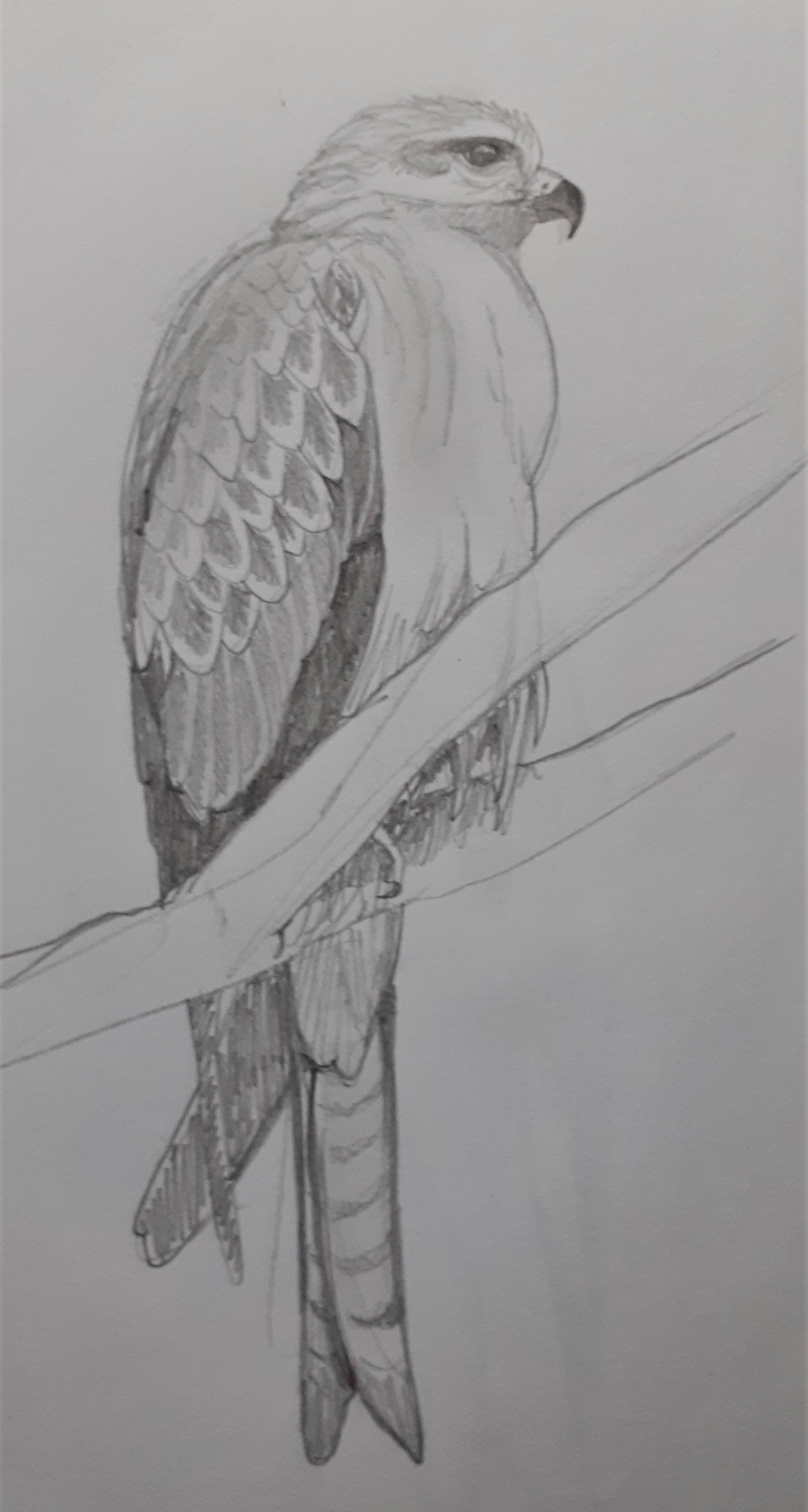 Black-Kite