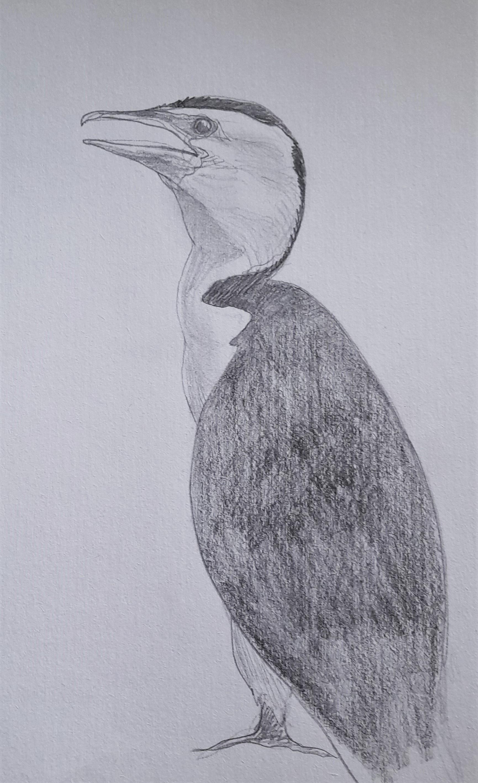 Little-Pied-Cormorant