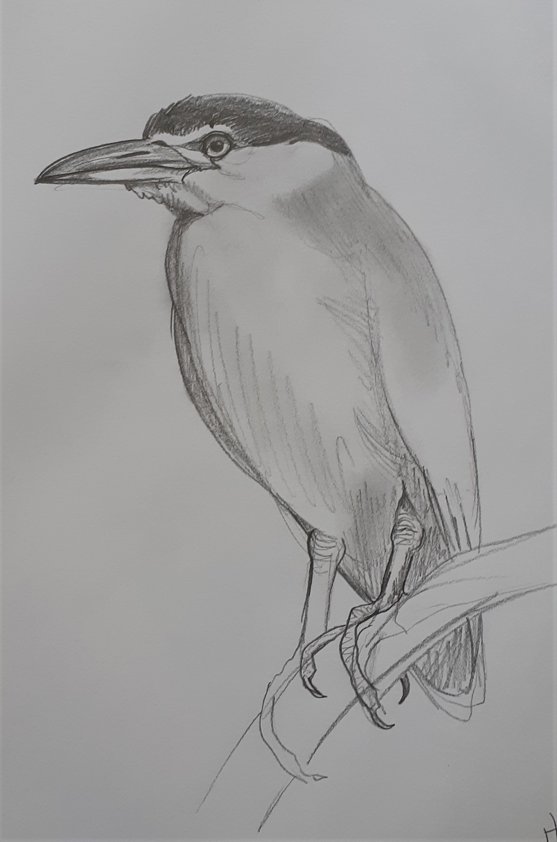Nankeen-Night-Heron