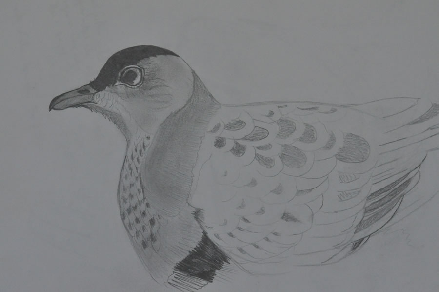 Superb fruit dove - John Grant